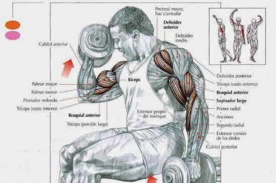 Curl de bíceps alternos con supinación ~ Acti-Gym