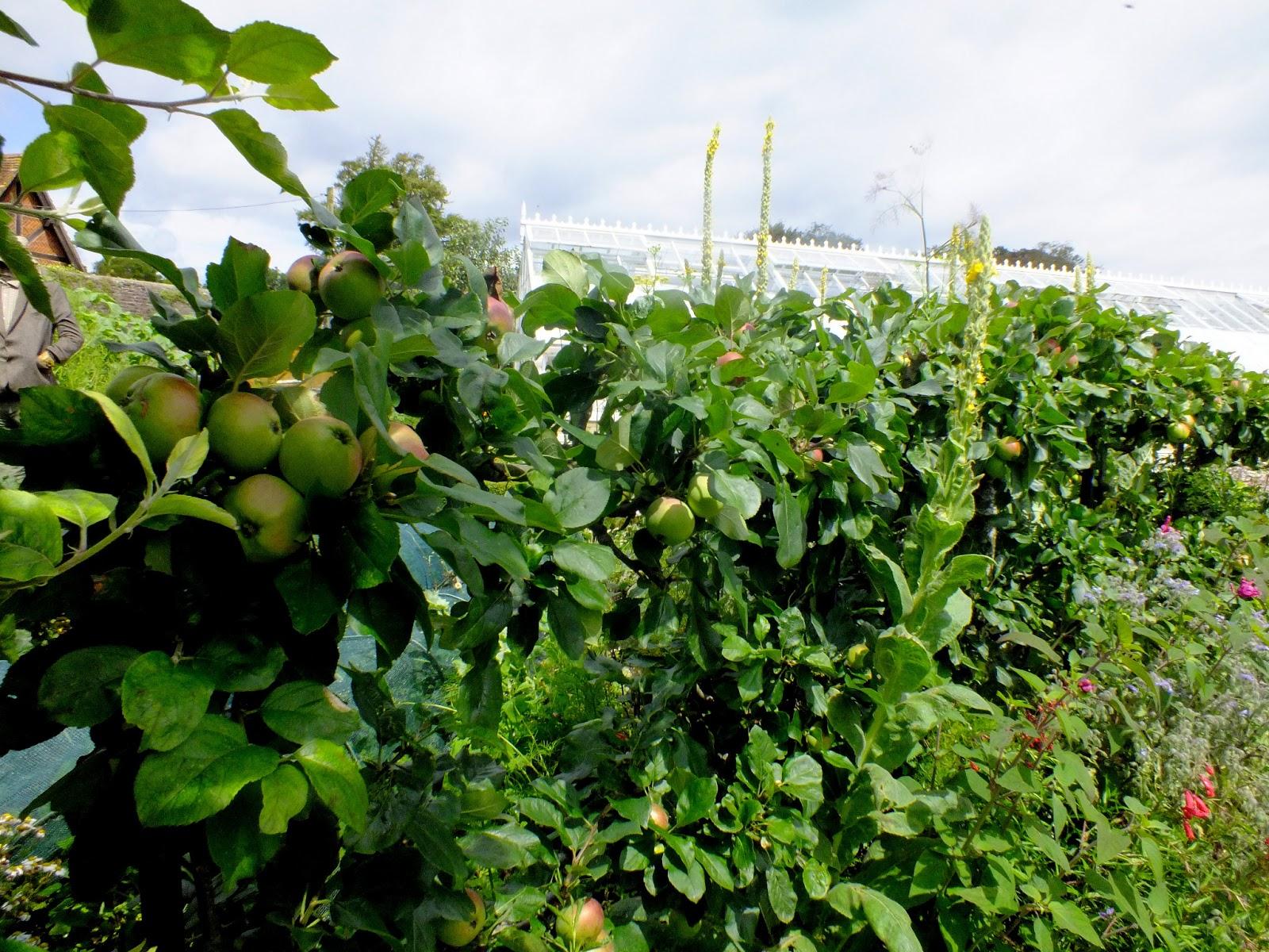 jabłonie szpalery