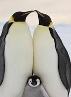 Amor de pingüino