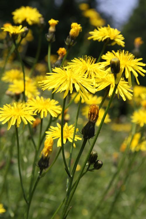 Healing weeds cats ear it has multiple flowers per stem mightylinksfo