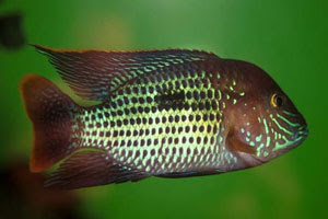 11 green terror aequidens rivulatus scientific name s aequidens ...