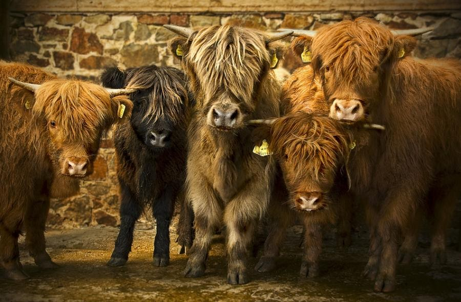 Willowbrook Park: The Willowbrook Highland Cattle Fold...