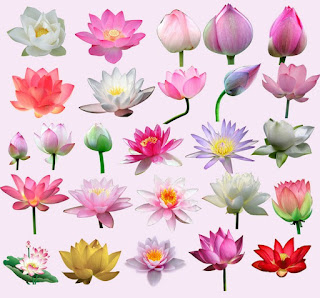 Indian Lotus (water lily) Clip-arts