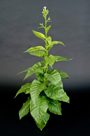 This tobacco plant uses genes taken from bacteria for photosynthesis. (Credit: www.technologyreview.com) Click to Enlarge.