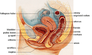 external image Female_reproductive_system_lateral.jpg