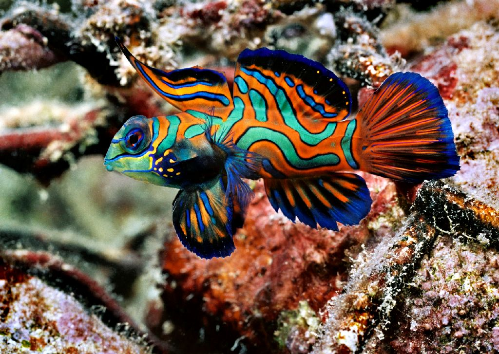 Aquarium fish mandarin fish pets cute and docile for Cute freshwater fish