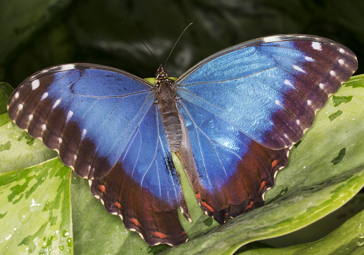 Blue Morpho, Morpho peleides. Wisley Gardens, Butterflies in the Glasshouse, 10 February 2015.