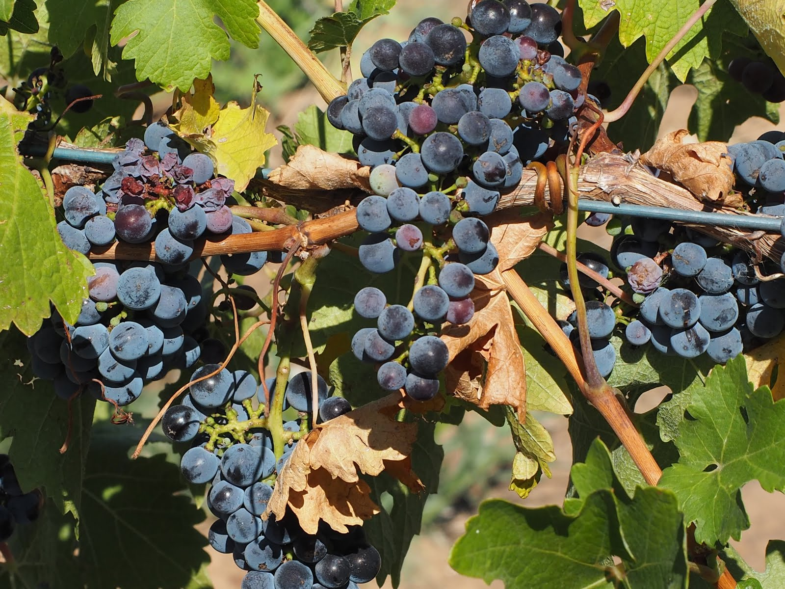 Grapes in the Vineyard-Baroosa Valley