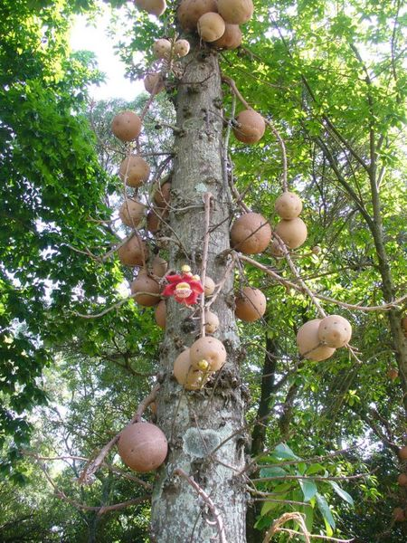 Cannonball Tree