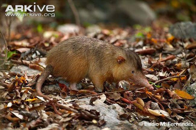 Tikus Raksasa (Solenodon)