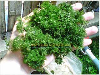gambar-Riccardia-Chamedryfolia-mini-pelia-tanaman-moss-aquascape