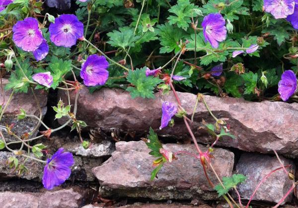 Nävan Rozanne blommar och hänger ner över en mur