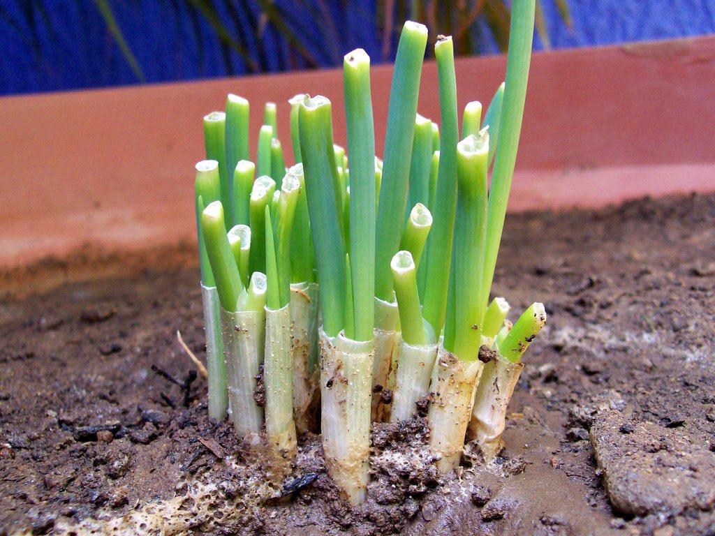 mi huerto urbano cultivo de cebollin