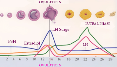 Ovulation Days – Pinpoint Your Most Fertile Days