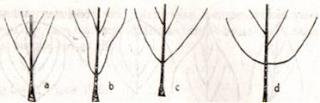 a. Runcing b. Meruncing c. Tumpul d. Membulat