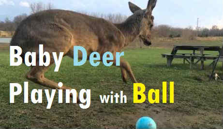 VIDEO: Baby Deer trying to figure out how to play with a Ball for the first time