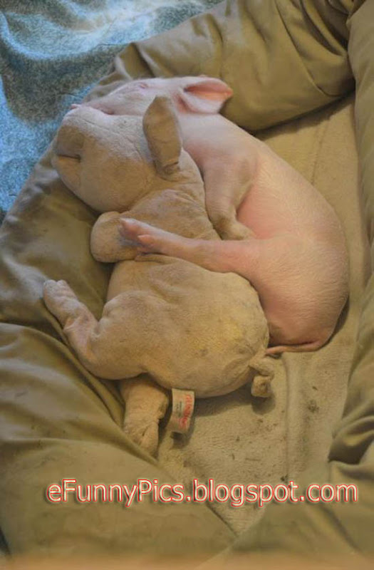 A Piglet and Her Teddy