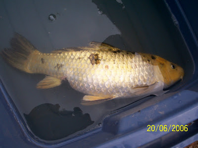 Goldfish care information diseases treatments part 7 for Pond fish diseases