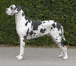 Dalmatian Great Dane Mix Great danes learn to fly.