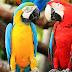 Учени обясниха причината за бъбривостта на папагалите