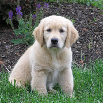 Dogs  Puppies on For Dogs  Golden Retriever Puppies And Glucosamine For Dogs