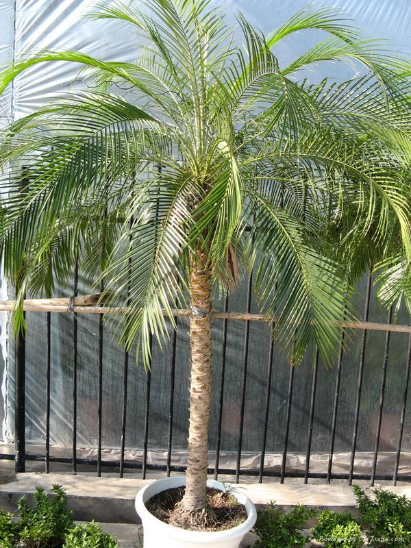 Pygmy date palm in Melbourne