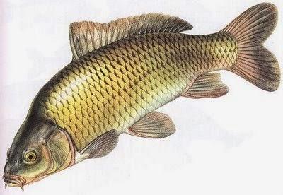 Cara Memelihara Ikan Mas