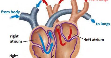 Hasil gambar untuk Arteri Pulmonalis