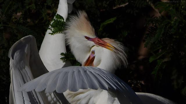 Western Cattle Egret breeding plumage Bubulcus ibis ibis garça-vaqueira garza boyera