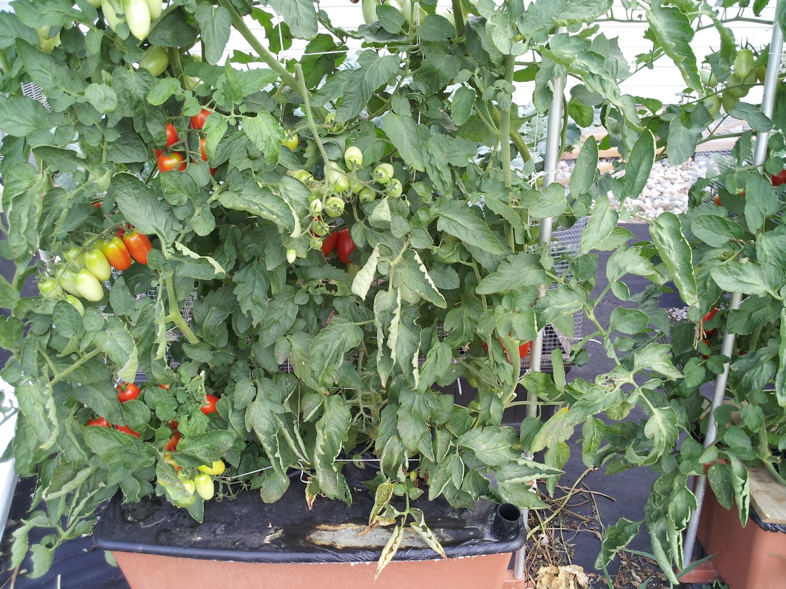 Beautiful A Couple Of Earthboxes With Tomatoes In Addition To The Square Foot Boxes.