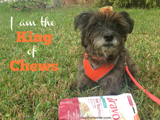Oz the Terrier is the King of Bravo Pet Foods Beef Trachea Chews