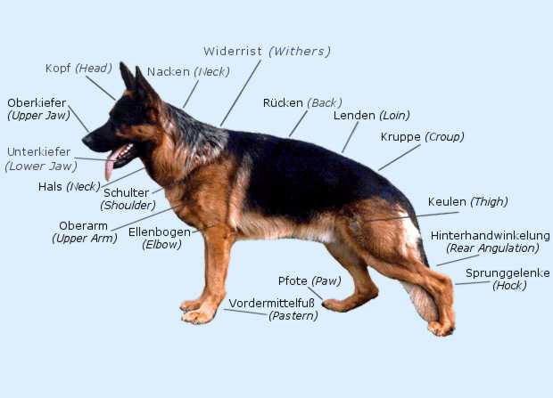 About The German Shepherd Dog