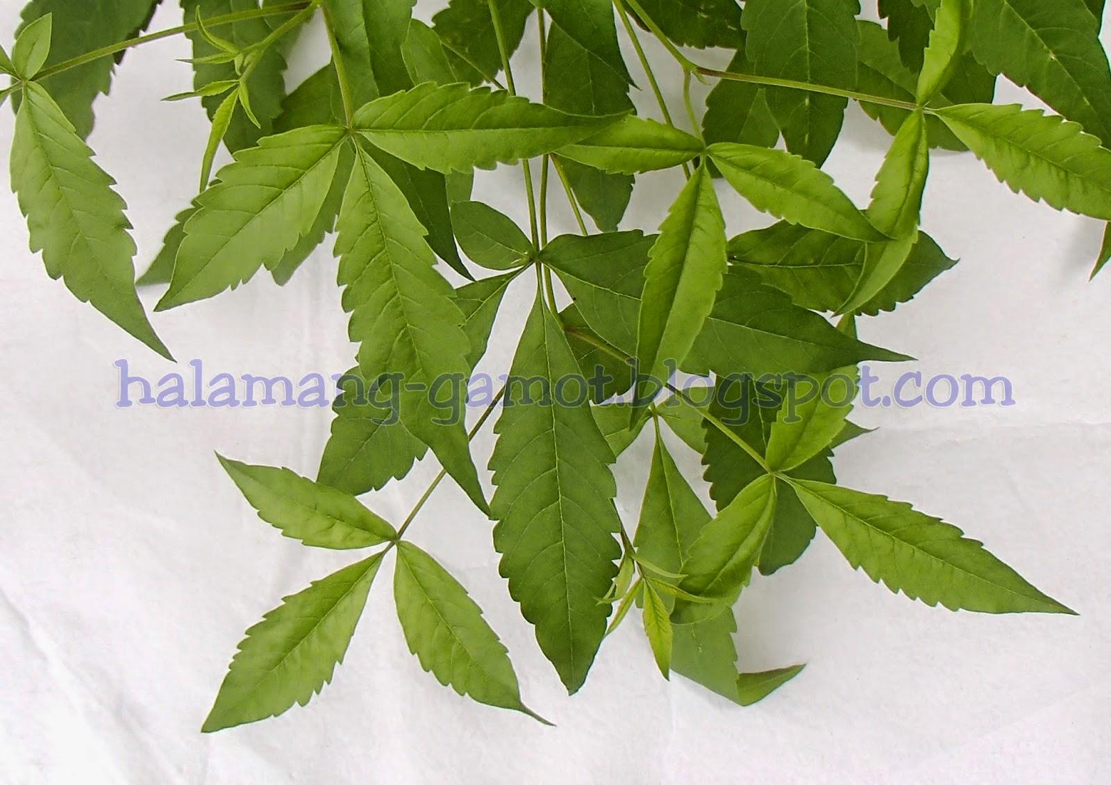 Lagundi plant
