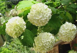 Seattle Garden Ideas Viburnums