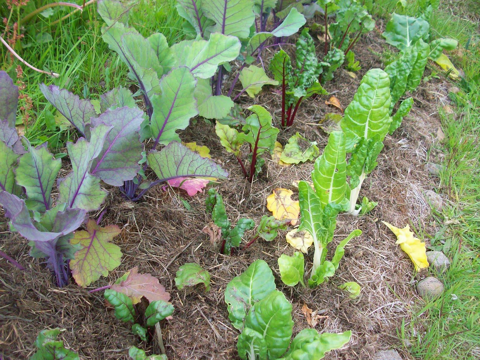plantas jardim nordeste:Abaixo está a cama com beterrabas, cenouras e cebolas.