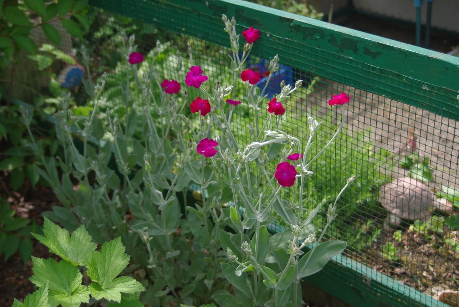 Promenade au jardin de lili dans le poitou coquelourde ou - Coquelourde des jardins lychnis coronaria ...