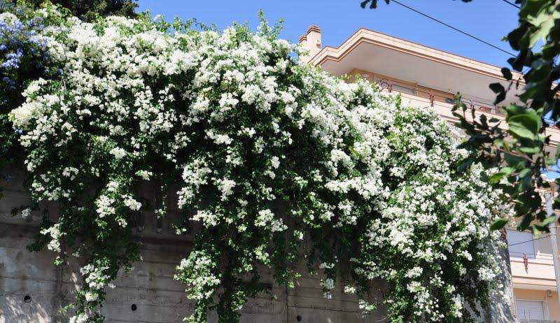 Cagliari in verde la bougainvillea albina for Bouganville fioritura