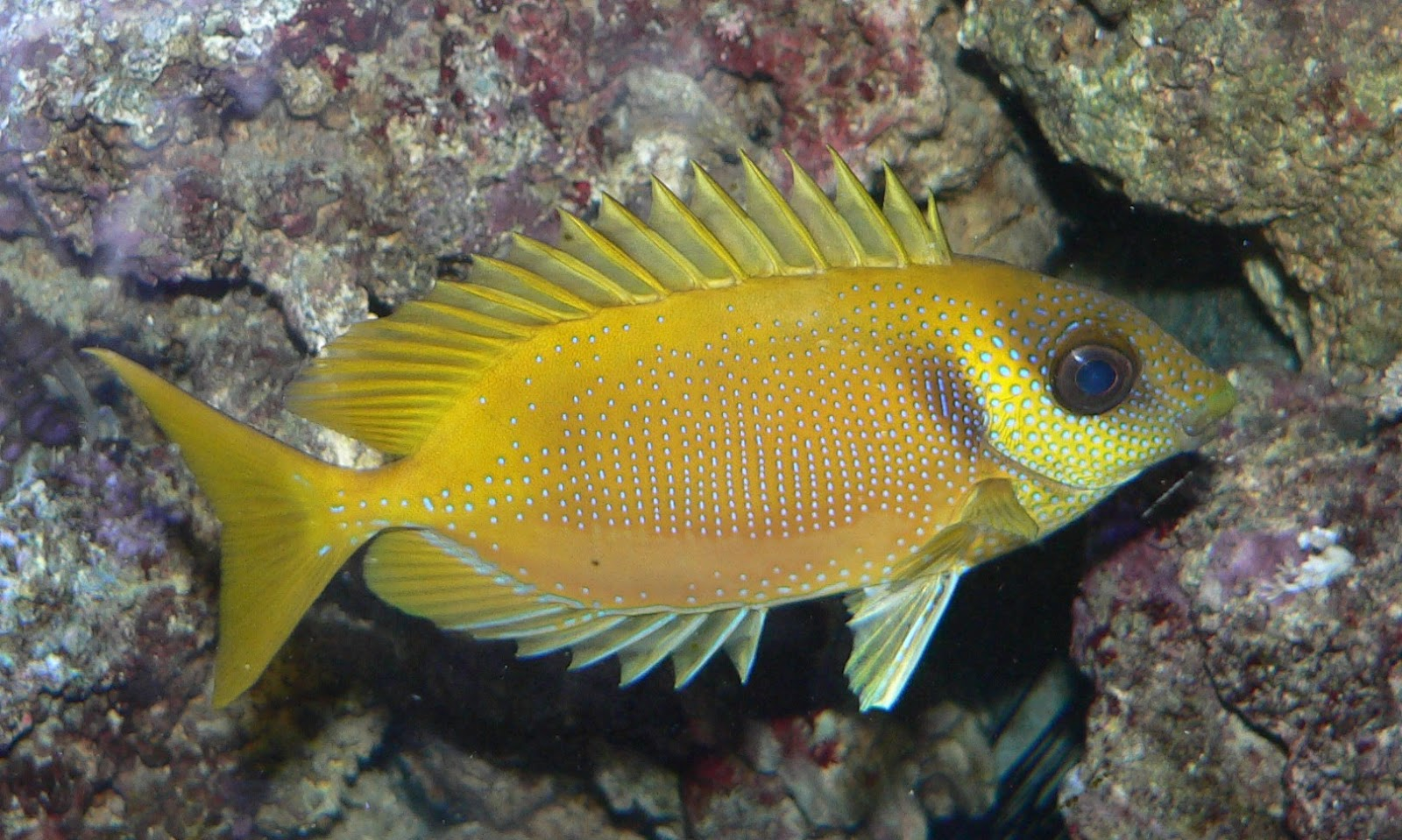 Rabbitfish fishes for Fox face fish