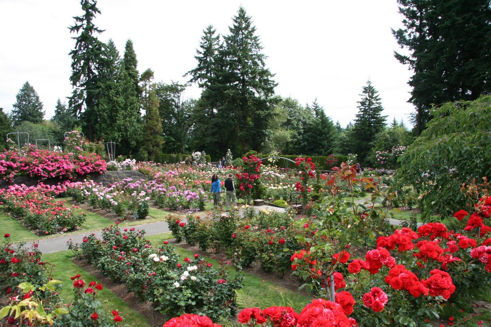 Daffodils Daydreams Garden Visit International Rose