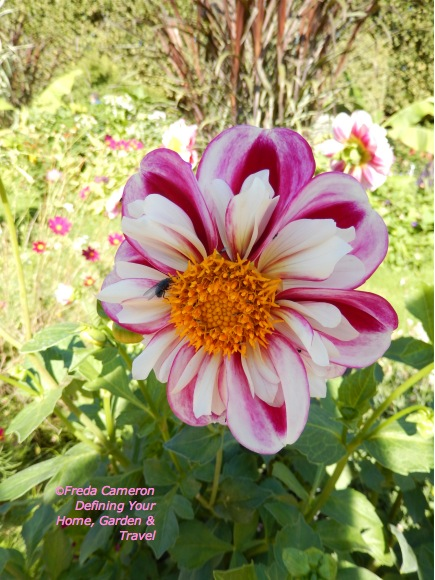 Dahlia at Jardin des Plantes Paris by Defining Your Home, Garden and  Travel