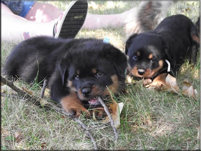 Rottweiler puppies pictures