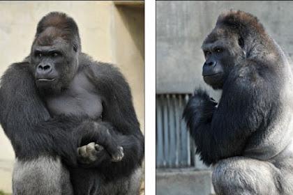 Gorila Tampan Ini Banyak Digilai Cewek-cewek