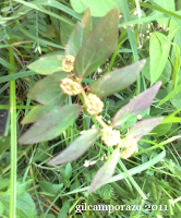 Tawa Tawa Plant