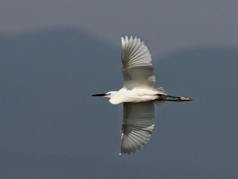Little Egret photography copyright Iordan Hristov