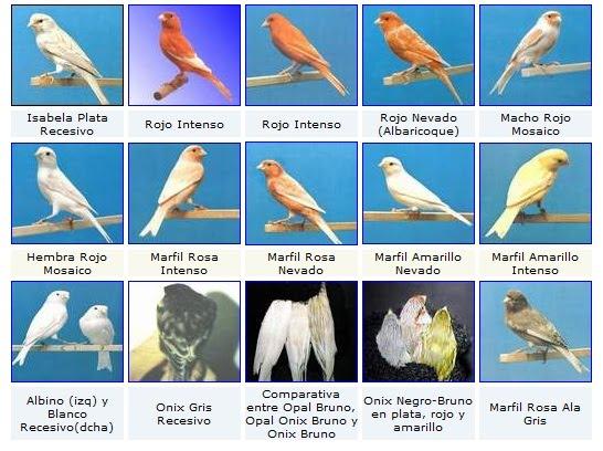 Varietas yang dikembangkanJenis Burung Kenari