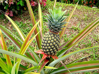 theRVGourmet, What's so Good About Pineapple-Plant