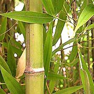 Bamboo Leaves Turning Yellow5