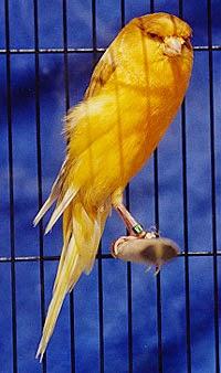 Gambar Cara Merawat Burung Kenari Border