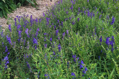 Baikal Skullcap (Scutellaria Baicalensis) Overview, Health Benefits, Side effects