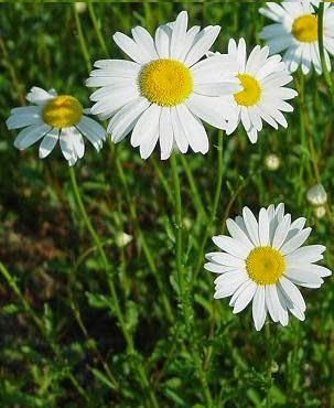 Bunga Aster Yang Mempesona